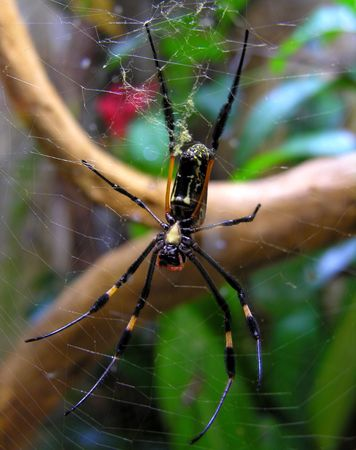 A large spider waiting in her net. photo