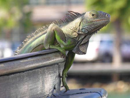 An iguana climbing on a ship... Stock Photo