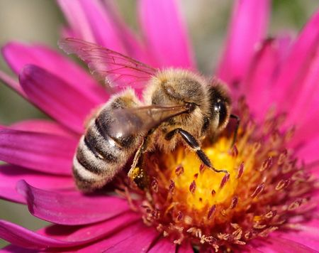 feeler: Close-up of a bee sitting on a pink flower Stock Photo