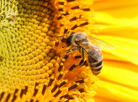 feeler: Close-up of a bee sitting on yellow sunflower