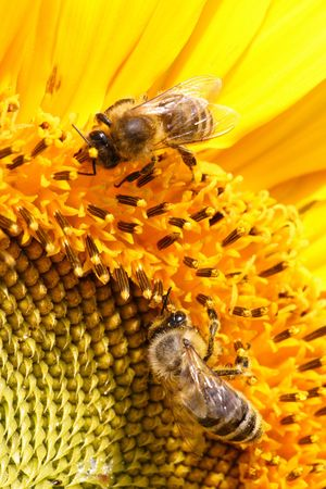 Close-up of two bees sitting on yellow sunflower