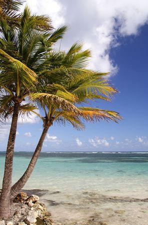 laguna: Palms at a beautiful caribbean beach
