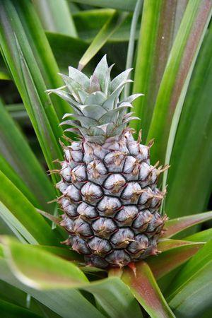 progeny:  Pineapple