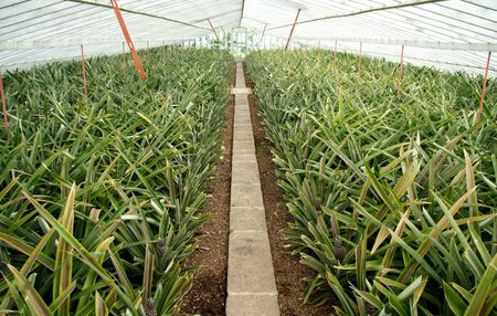 progeny: Small pineapple plants in a greenhouse Stock Photo