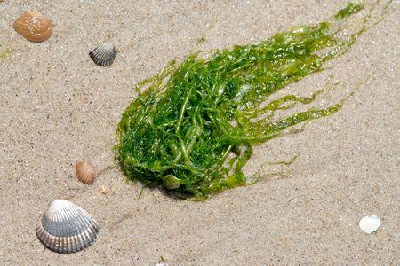 alga: Alga and shells on the beach
