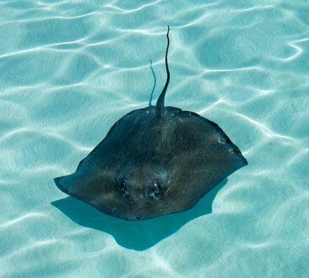 A stingray swimming in blue water