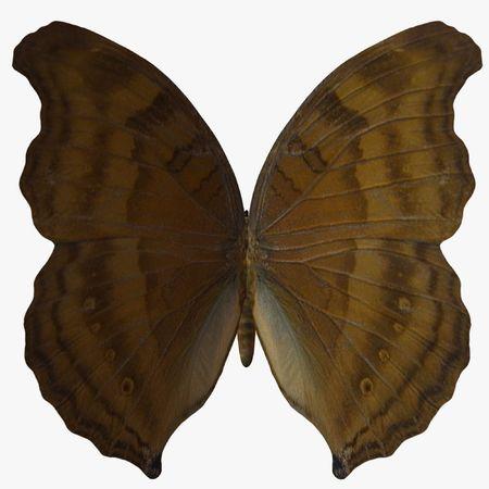 Butterfly-BeechWing photo