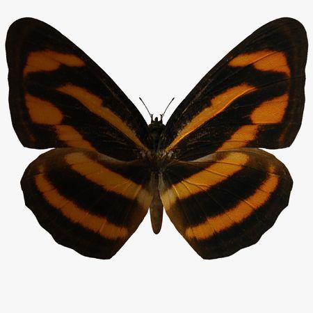 Butterfly-BurmeseLascar photo
