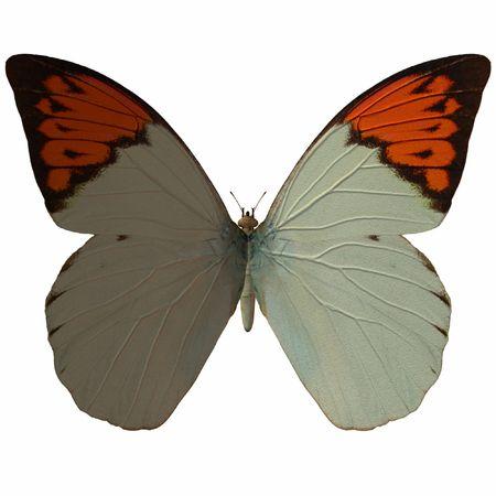 Butterfly-GreatOrangeTip photo