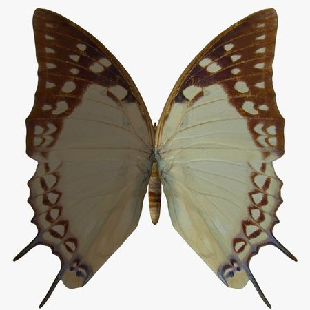 Butterfly-Nawab photo