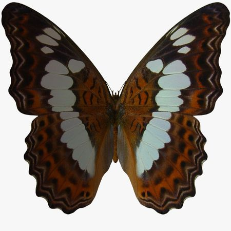 Butterfly-WhiteAdmiral photo