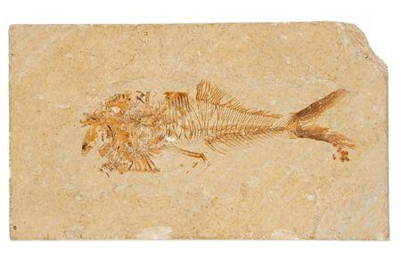 beenderige: Deze 50 miljoen jaar oud, Eoceen-Era fossiele vis afkomstig is van een van 's werelds beroemdste Laggerstatte, de Green River Formation in Wyoming. Diplomystus is van de Class Actinopterygii, de ray-finned beenderige vissen, bestaat bijna de helft van alle bekende soorten