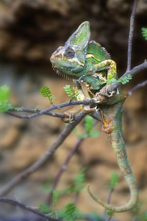 cold blooded: Veiled Chameleon  (Chamaeleo calyptratus)  The veiled chameleon occupies high, dry plateaus and is found near the border of Yemen and Saudi Arabia along the foot of the escarpment and local wadis (inland river valley), to an elevation of almost 3,000 feet Stock Photo
