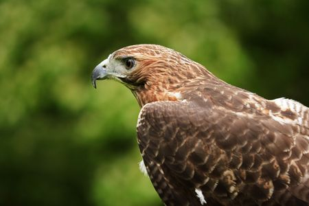 redtail: Close up of a Red Tailed Hawk  Buteo jamaicensis