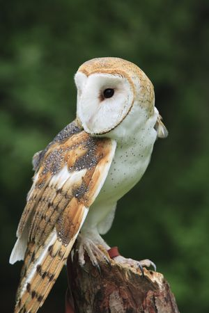 alba: The Barn Owl (Tyto alba) Stock Photo
