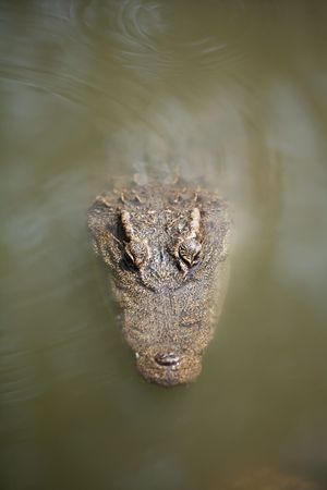 siamensis: The Siamese crocodile (Crocodylus siamensis) is a freshwater crocodile native to Indonesia (Borneo and possibly Java), Brunei, East Malaysia, Laos, Cambodia, Burma, Thailand, and Vietnam. The species is critically endangered and already extirpated from ma