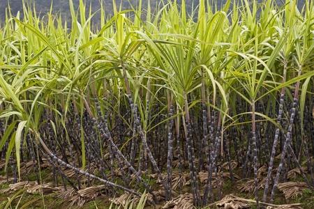 sugar cane farm: A field of  sugar cane growing in Guilin county, Guangxi Zhuang Autonomous Region, China Stock Photo