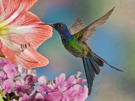 A beautiful The Swallow-Tailed Hummingbird Eupetomena macroura from the countyside of Brazil Stock Photo