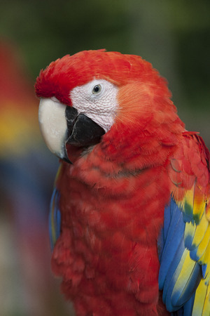 psittacidae: Scarlet Macaw Ara macao is found in southern Mexico, Central America, and South America. In South America, the species is found as far south as northeastern Argentina. Ara macao is most common throughout the Amazon basin.
