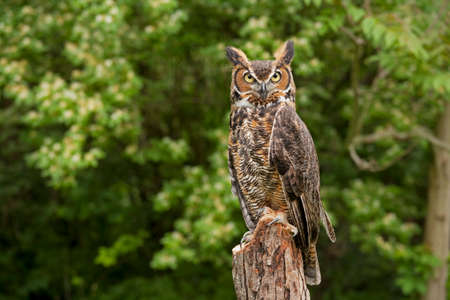 great: Portrait of a adult Great Horned Owl Bubo viriginianus