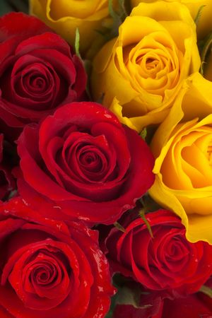 red and yellows roses, close up photo