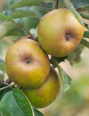 kernel: Apples on a tree - ashmeads kernel variety Stock Photo