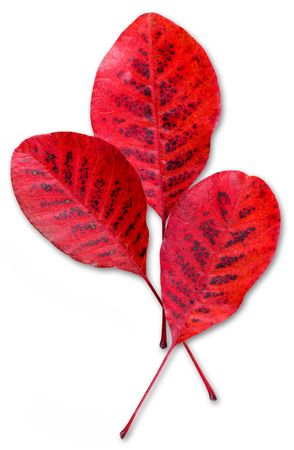 Three red fall leaves, isolated photo