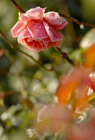 english rose: An English rose in November, rimmed with frost in the early morning.  Shallow depth of field - focus on rose.