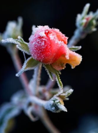 gleam: Reaching in to the cold light, a frosty rose bud