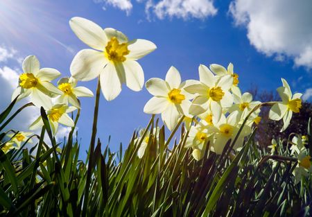 deliberate: Backlit narcissus with deliberate sun flare top left to illustrate concept of a bright sunlit spring day, blue sky. Stock Photo