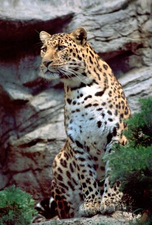 clouded leopard: Clouded leopard watching something move. Stock Photo