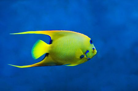 Large Queen Angelfish (Holoacanthus ciliaris) against dark blue background photo