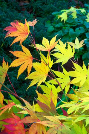 Red and gold Japanese Maple leaves against a dark green background.