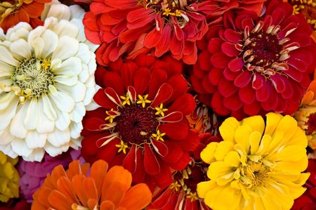 A bouquet of zinnias at the Farmers Market Stock Photo