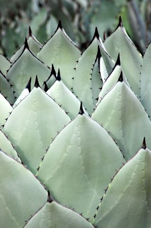 Rows of fresh agave leaves.