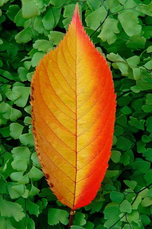 Japanese cherry leaf fallen on Southern maidenhair fern Stock Photo
