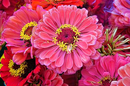 A bunch of pink zinnias Stock Photo