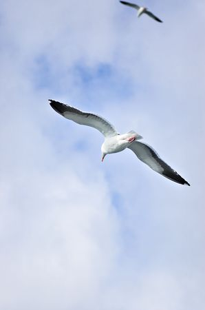 Two seagulls flying Stock Photo - 310651