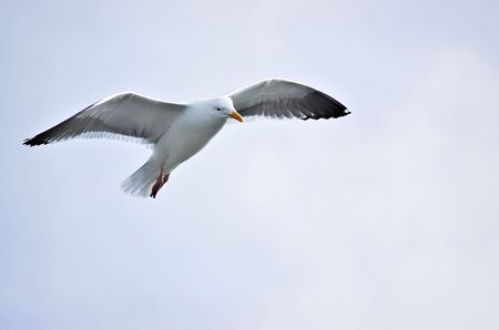 A single seagull flying.