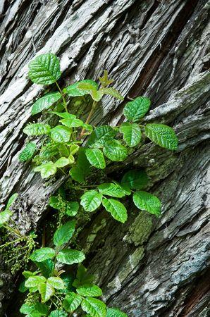 Poison Oak in bud, growing on a cedar tree Stock Photo