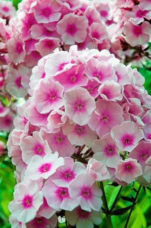 Flower heads of pink Hearty Phlox (Phlox paniculata)