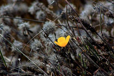 A golden poppy growing in a windy, wild field. photo