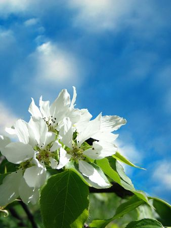 Spring. Apple-tree flower on blue sky photo