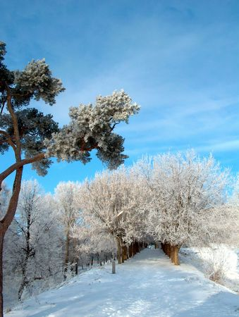 Winter day. White trees