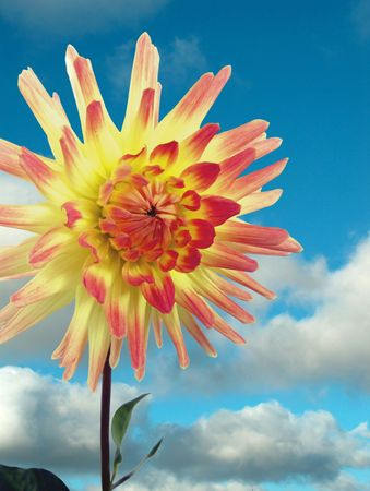 blossoming yellow flower tree: Optimistical flower  dahlia Stock Photo