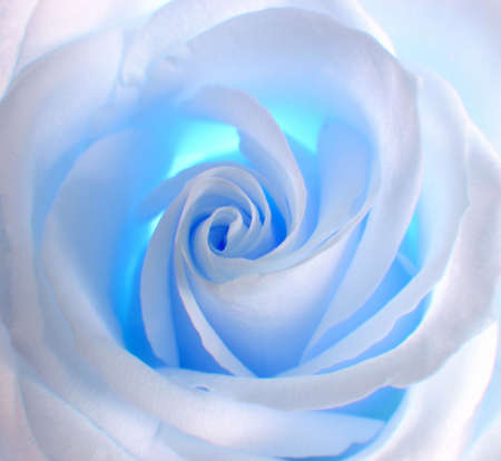White-blue rose .Decoration for CD of a disk , album and other. Stock Photo - 391942