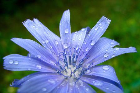 Azure chicory  .Drops water after rain. photo