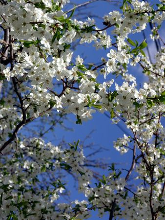 blossoming: Spring. Blossoming cherry-tree. Stock Photo