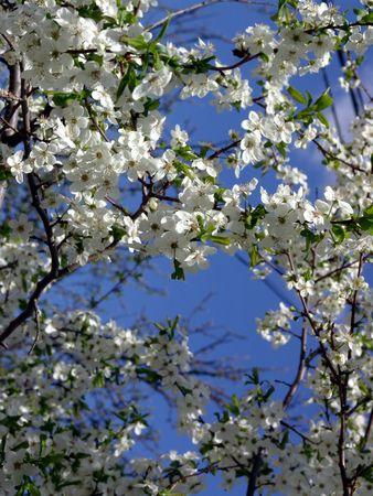 cherrytree: Spring. Blossoming cherry-tree. Stock Photo