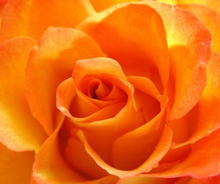 Beauty orange rose